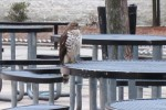 "A hawk landed in the courtyard this morning. Principal Alan Goodwin named it ""Walt."" Photo by Melissa Kantor."
